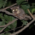 A Prince Demidoff's bushbaby in the Lama Forest